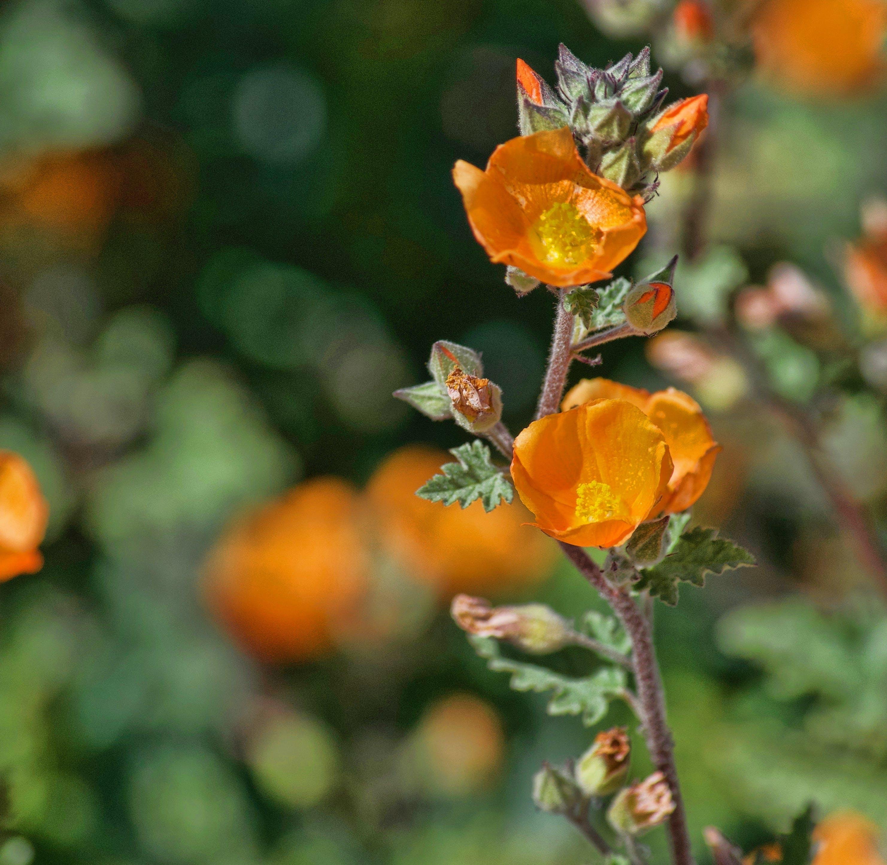 Kostenloses Stock Foto zu orange, orange blume, orange wildblumen, schönheit in der natur