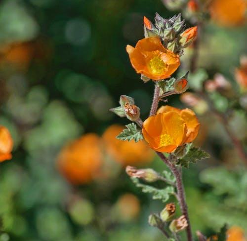 Fotobanka sbezplatnými fotkami na tému divý kvet, krása v prírode, oranžová, oranžové kvety