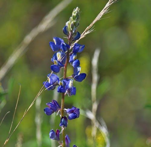 Fotobanka sbezplatnými fotkami na tému divý kvet, indigo, krása v prírode, kvet