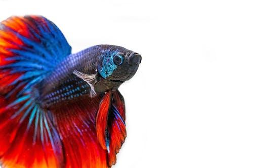 Foto d'estoc gratuïta de peix, peix betta