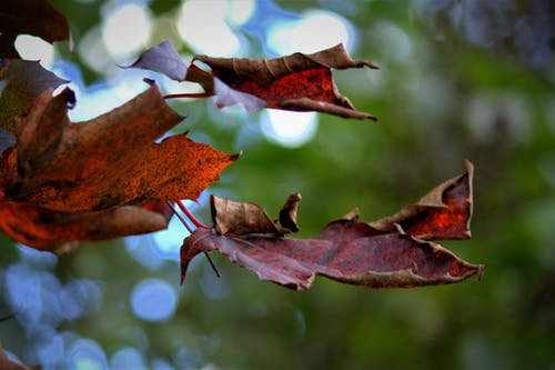Free stock photo of falling leaves, maple leaves