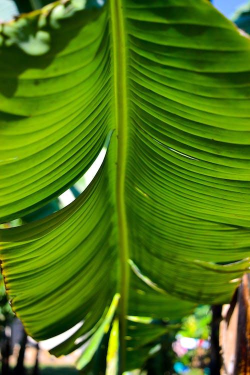 bananblad, detalje, farve