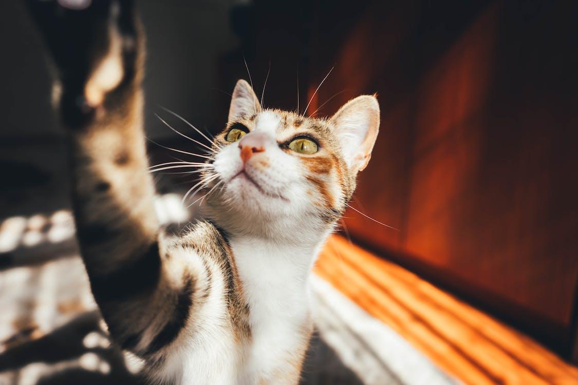 Nahaufnahme Von Calico Cat Neben Braunen Möbeln