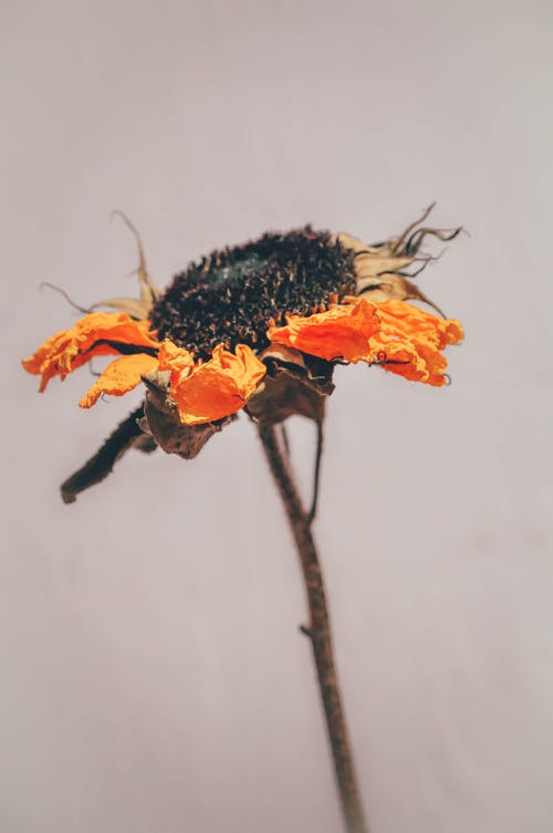 Close-Up Photo of Dying Sunflower