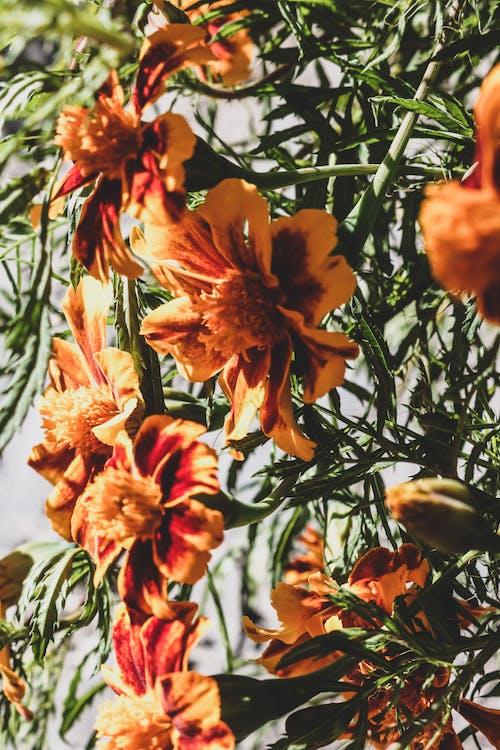 Δωρεάν στοκ φωτογραφιών με ηλιόλουστη μέρα, όμορφο λουλούδι, πορτοκαλί άνθος