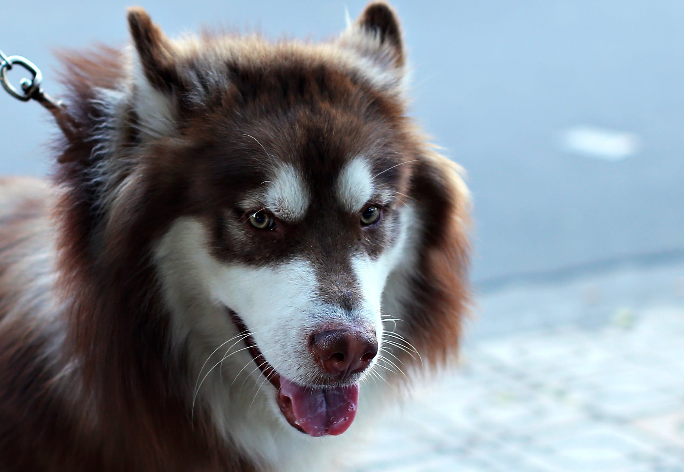 Adult White and Copper Siberian Husky