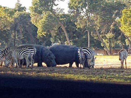 Gratis stockfoto met hipo, wilde beesten, wildleven, zebra