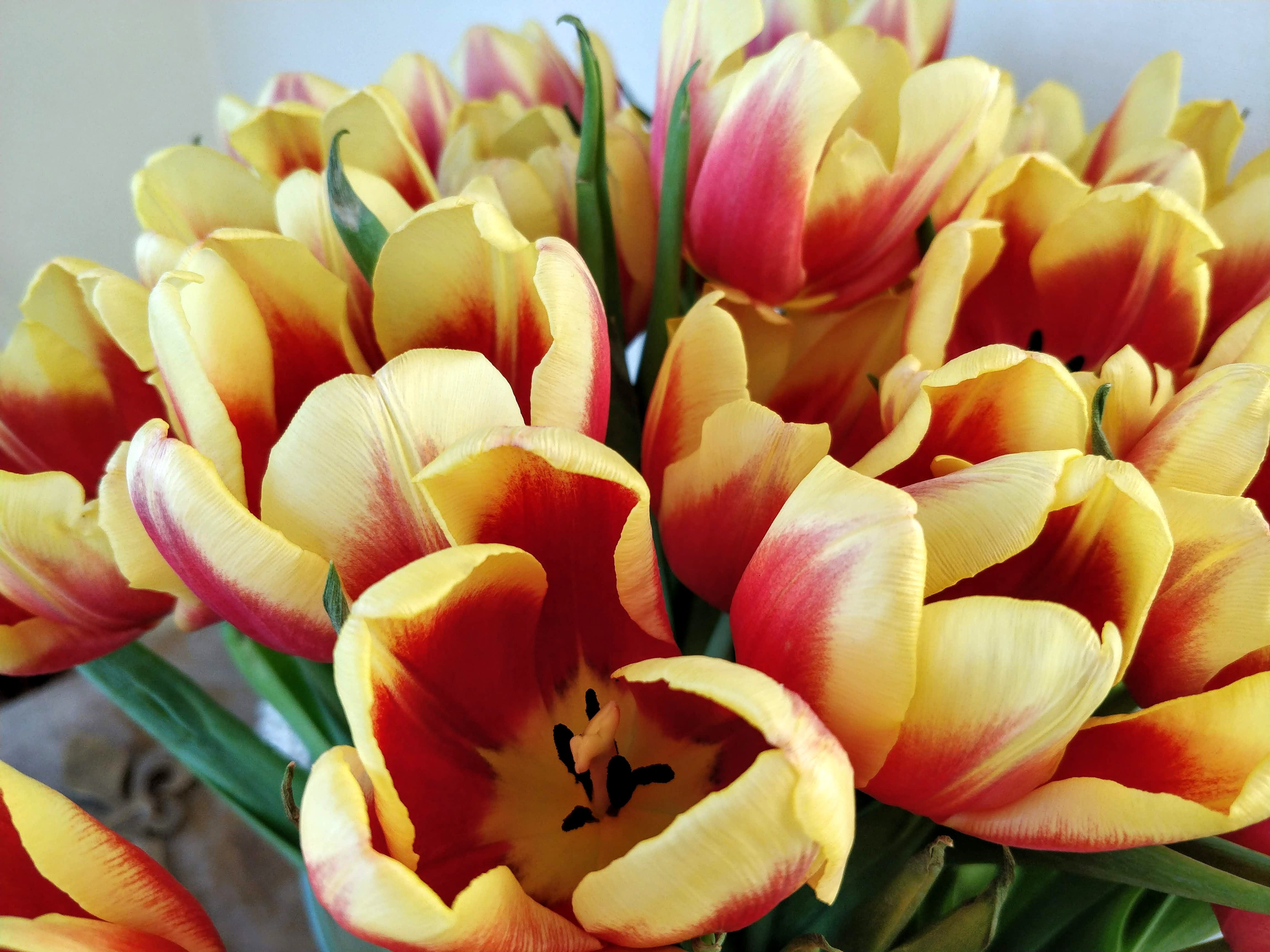 Gratis lagerfoto af forår, forårsblomster, røde tulipaner, Tulipaner