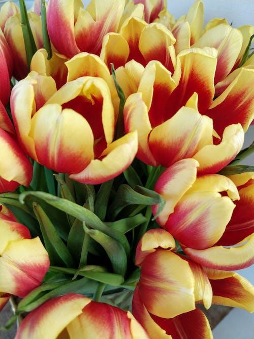 Безкоштовне стокове фото на тему «Весна, весняні квіти, тюльпани, червоних тюльпанів»