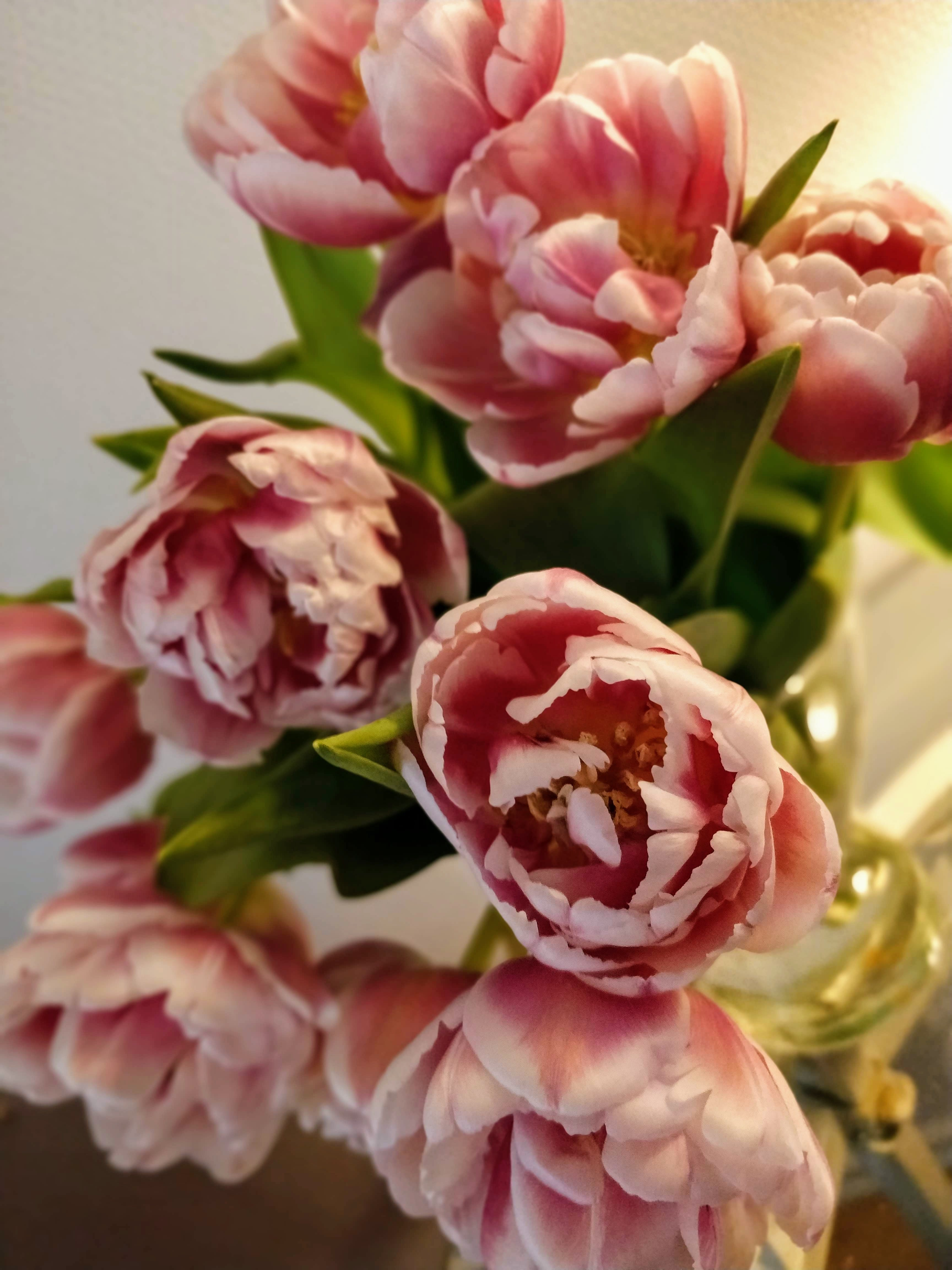 Gratis lagerfoto af blomstervase, forårsblomster, pink tulipaner, Tulipaner