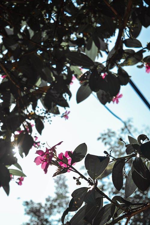 Gratis lagerfoto af blomster, forårsblomster, lyserøde blomster