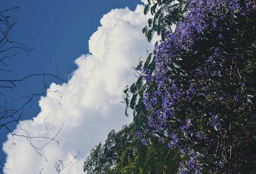 Gratis lagerfoto af blå himmel, blomster, lilla blomster, overskyet himmel