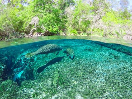 Ilmainen kuvapankkikuva tunnisteilla manaatit, vedenalainen, yli alle