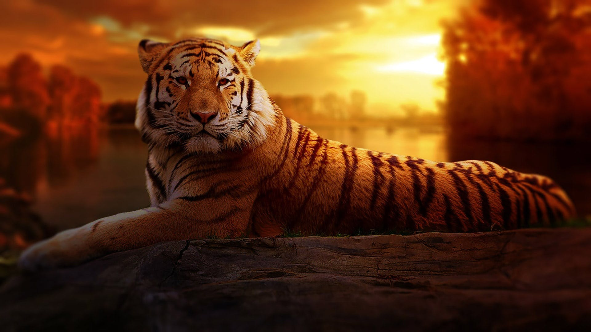Free stock photo of sunset, animal, zoo, tiger