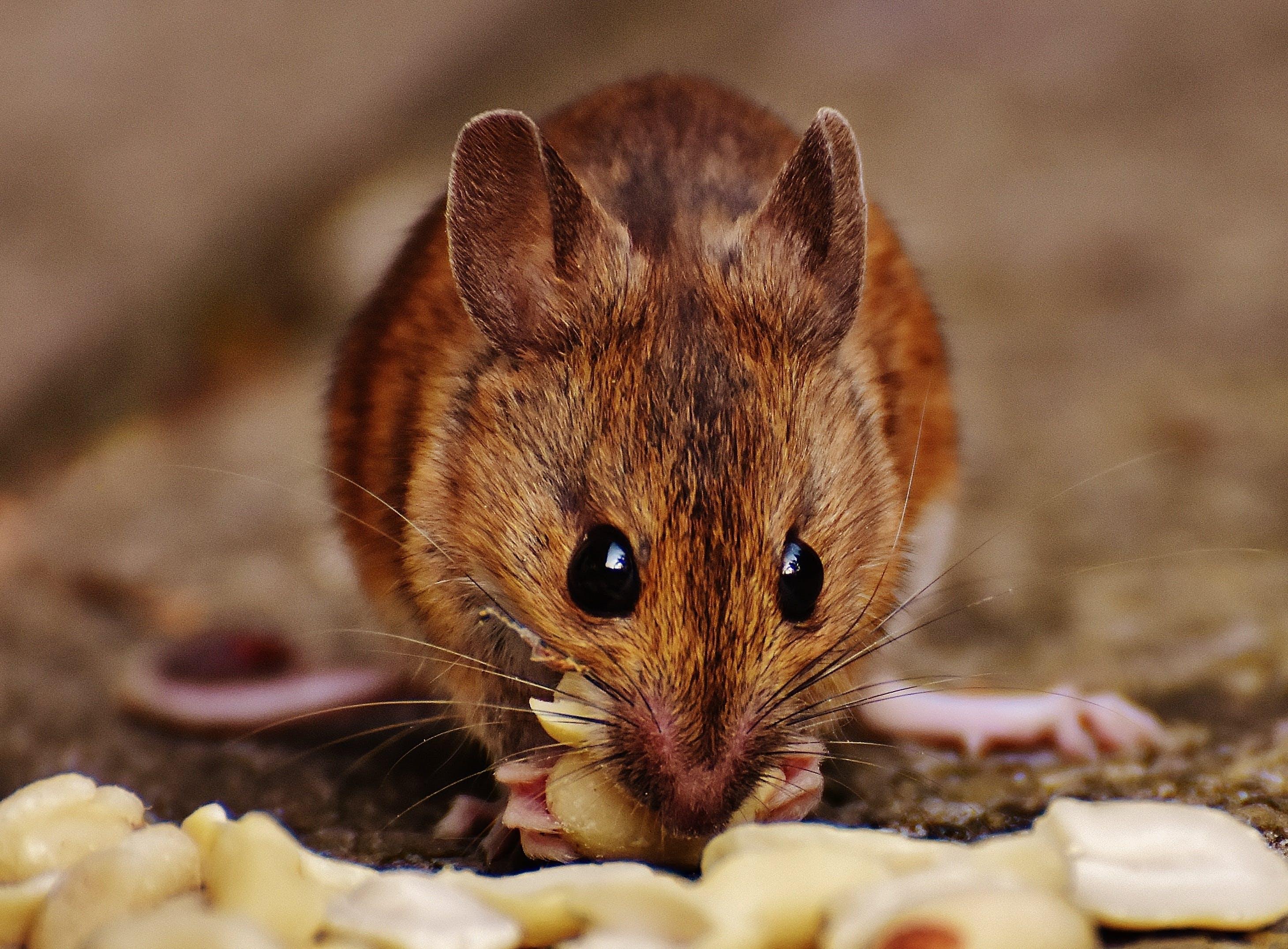 Brown Rat Eating Peanuts