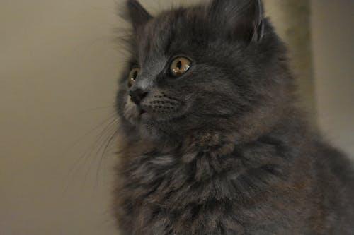 Foto profissional grátis de gatinha
