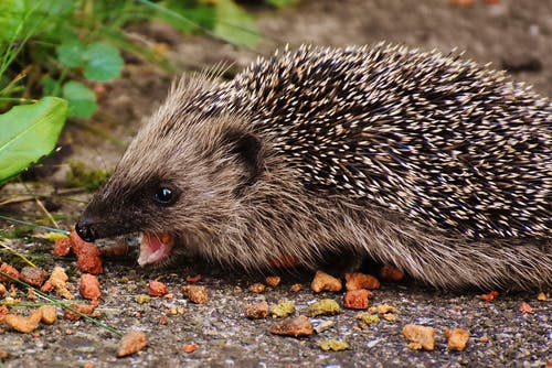 Brown Hedgehog
