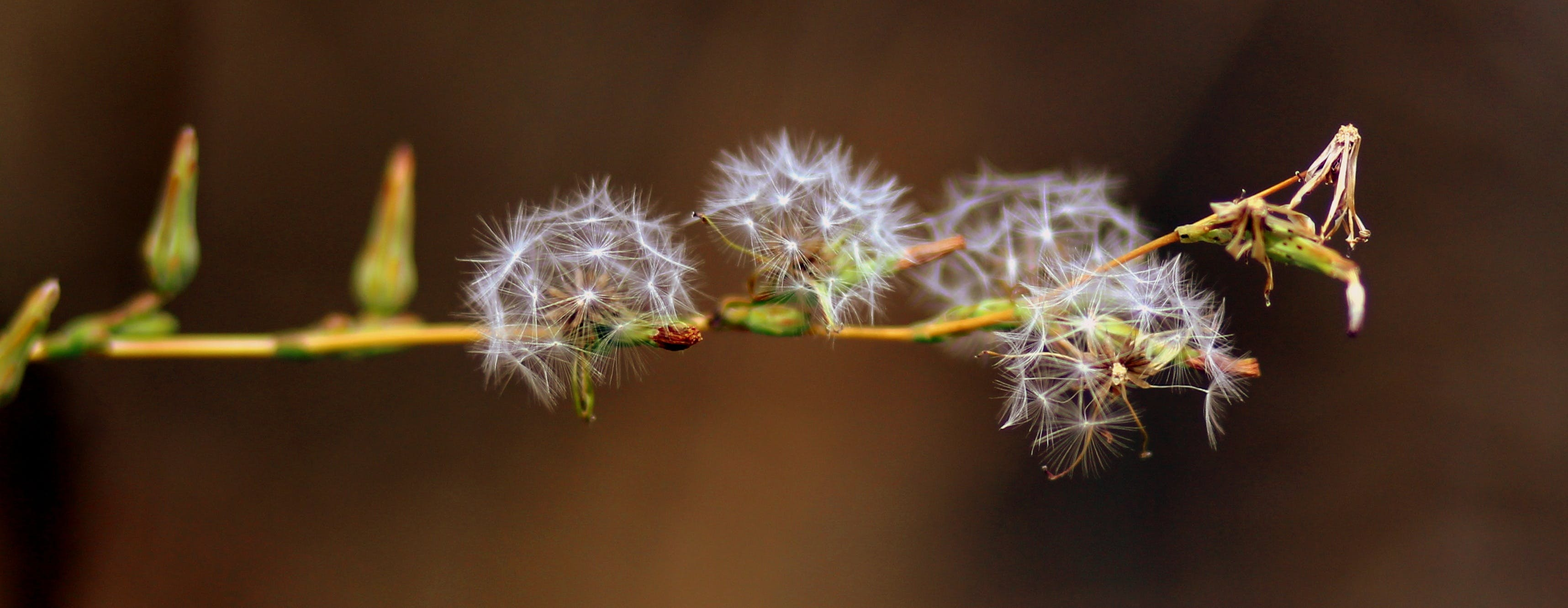 Free stock photo of nature, plant, dandelion, down