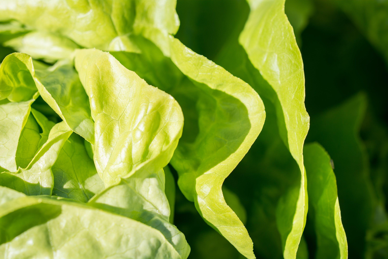 レタス, 工場, 新鮮な, 緑の無料の写真素材