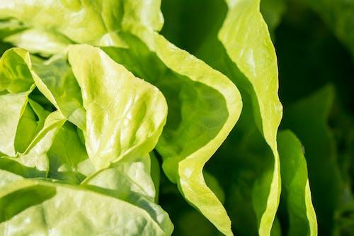Základová fotografie zdarma na téma čerstvý, hlávkový salát, rostlina, závod