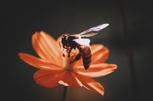 Bee Perching of Orange Flower