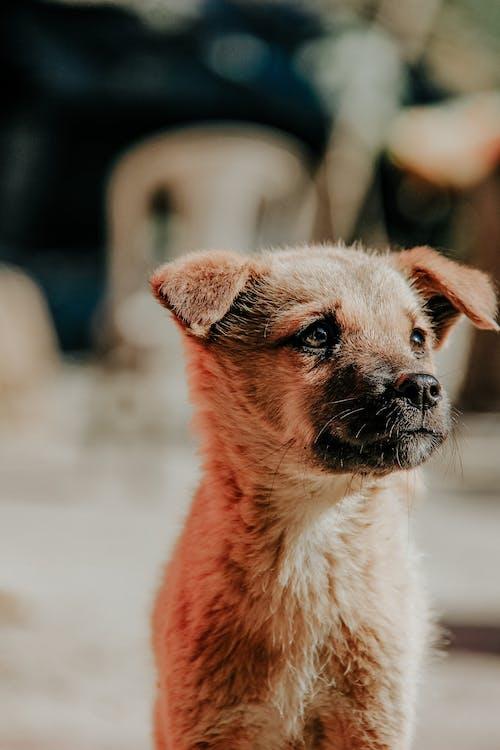 Kurzhaariger Brauner Hund
