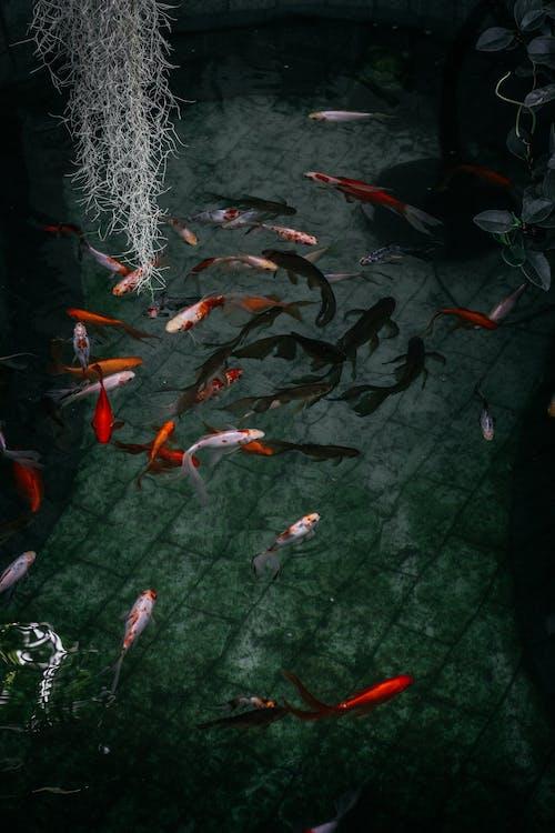 Základová fotografie zdarma na téma akvárium, barva, kapr, koi fish