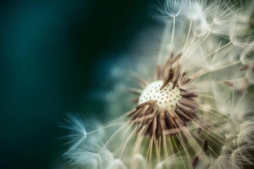 White Dandelion Flower Close-up Photography