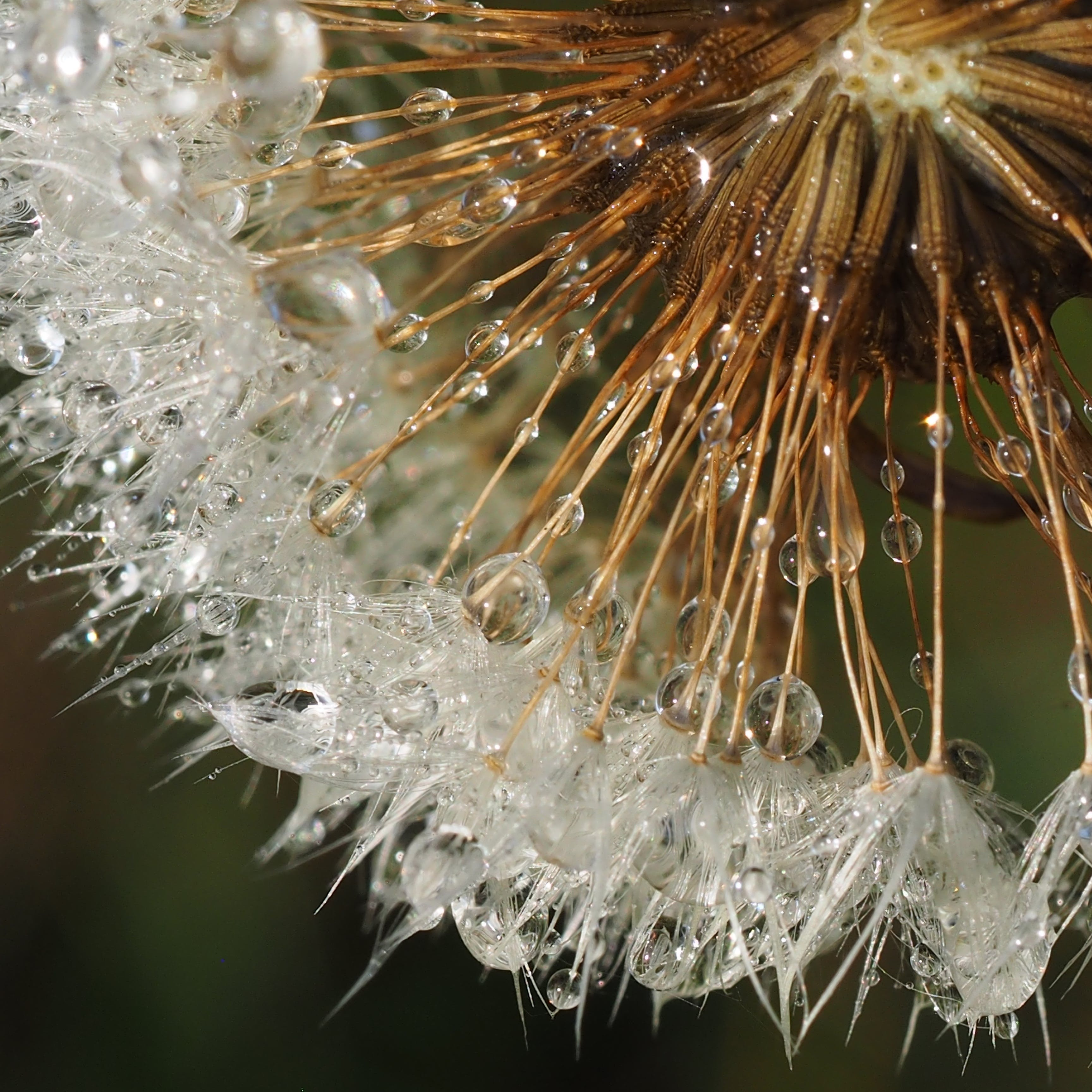 Macro Photography of White Dandelion Flower in Bloom With Water Droplets