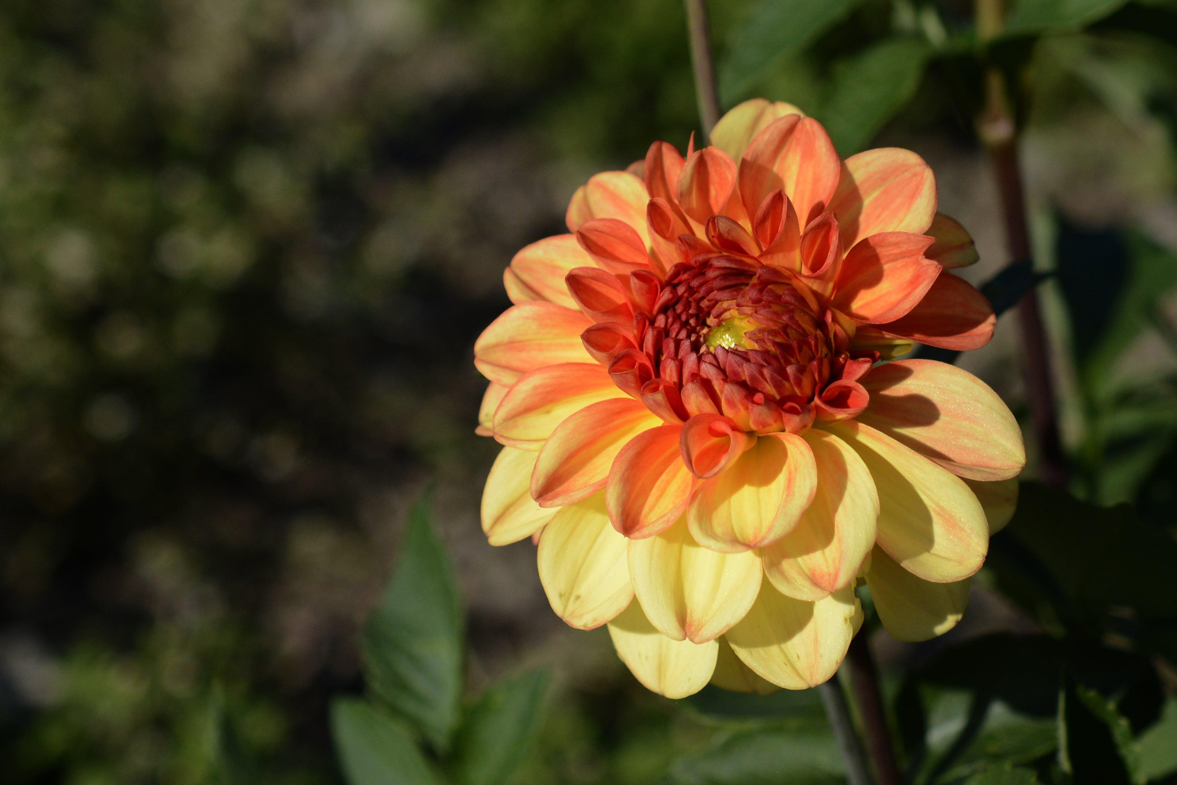Free stock photo of nature, flowers, garden, yellow