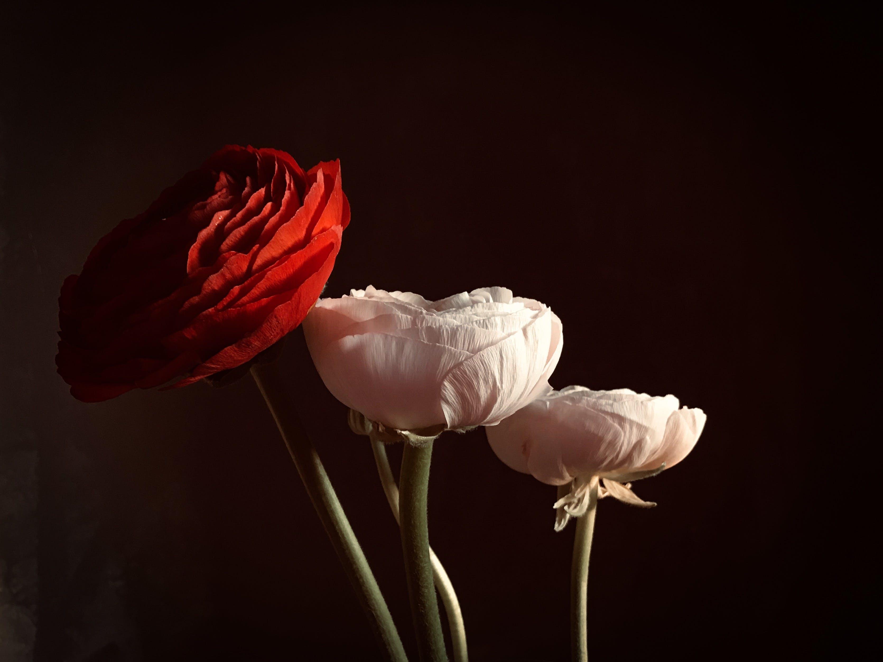 Foto stok gratis bagus, berbunga, berkembang, bunga merah