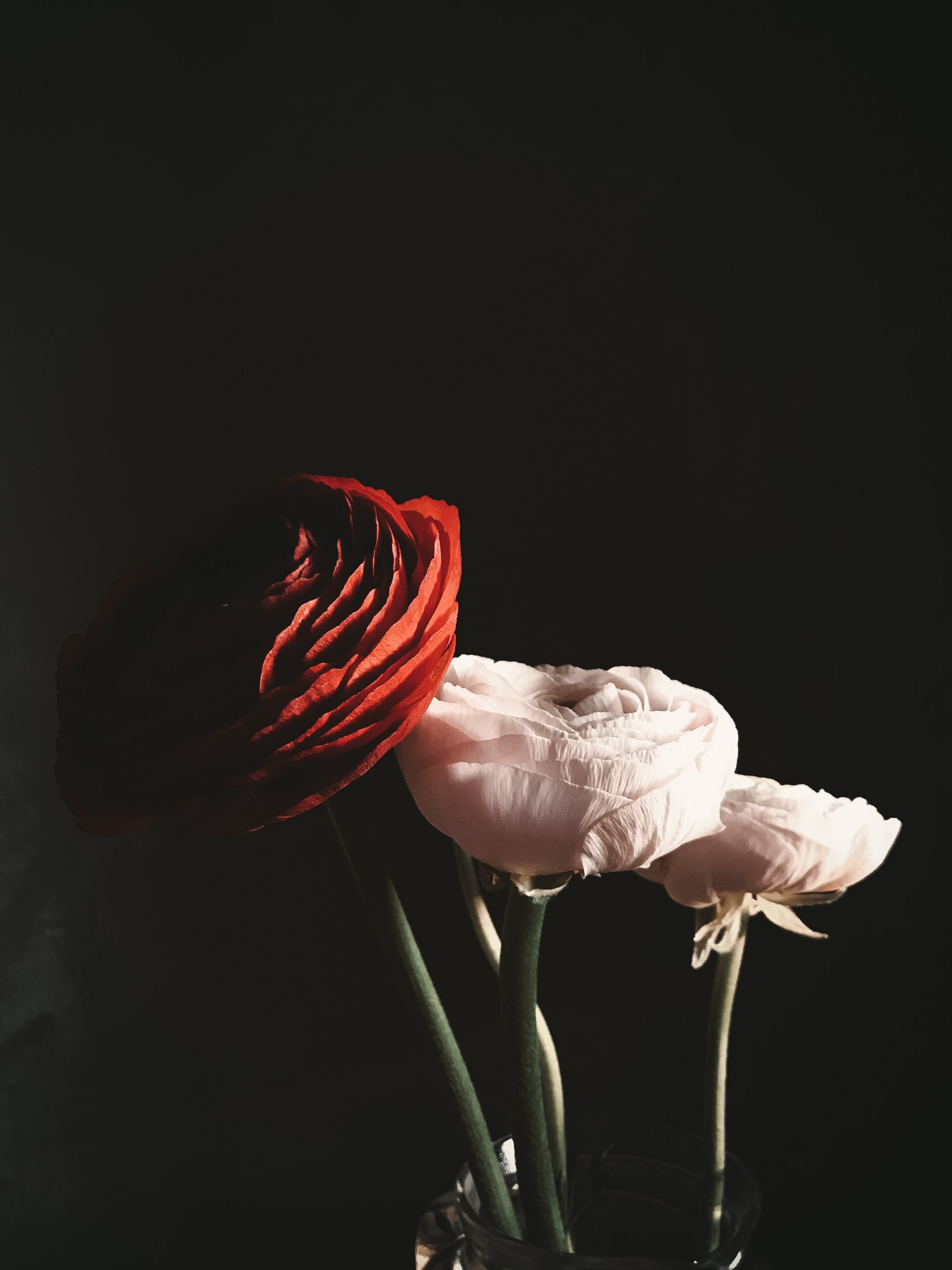 Red and White Rose Flowers on Black Background