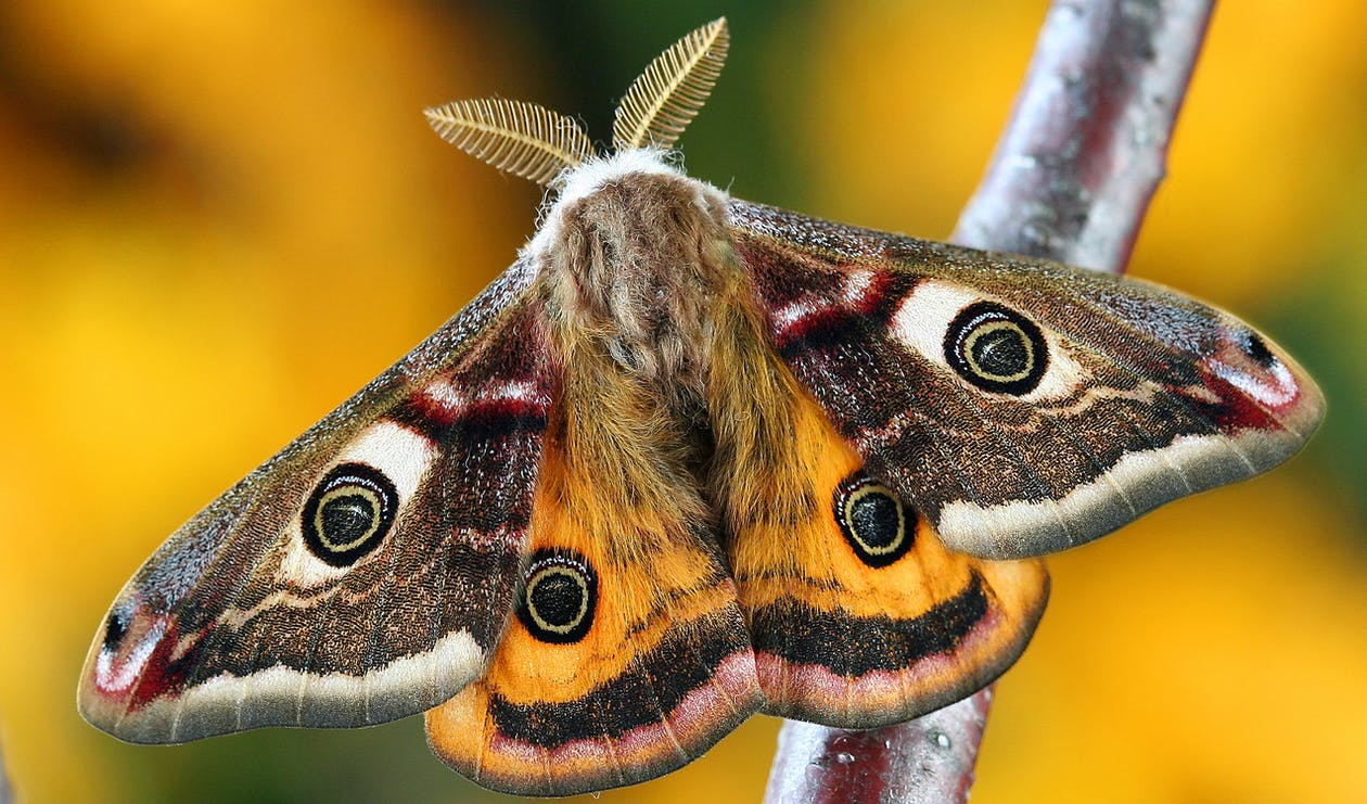 White Brown and Orange Moth