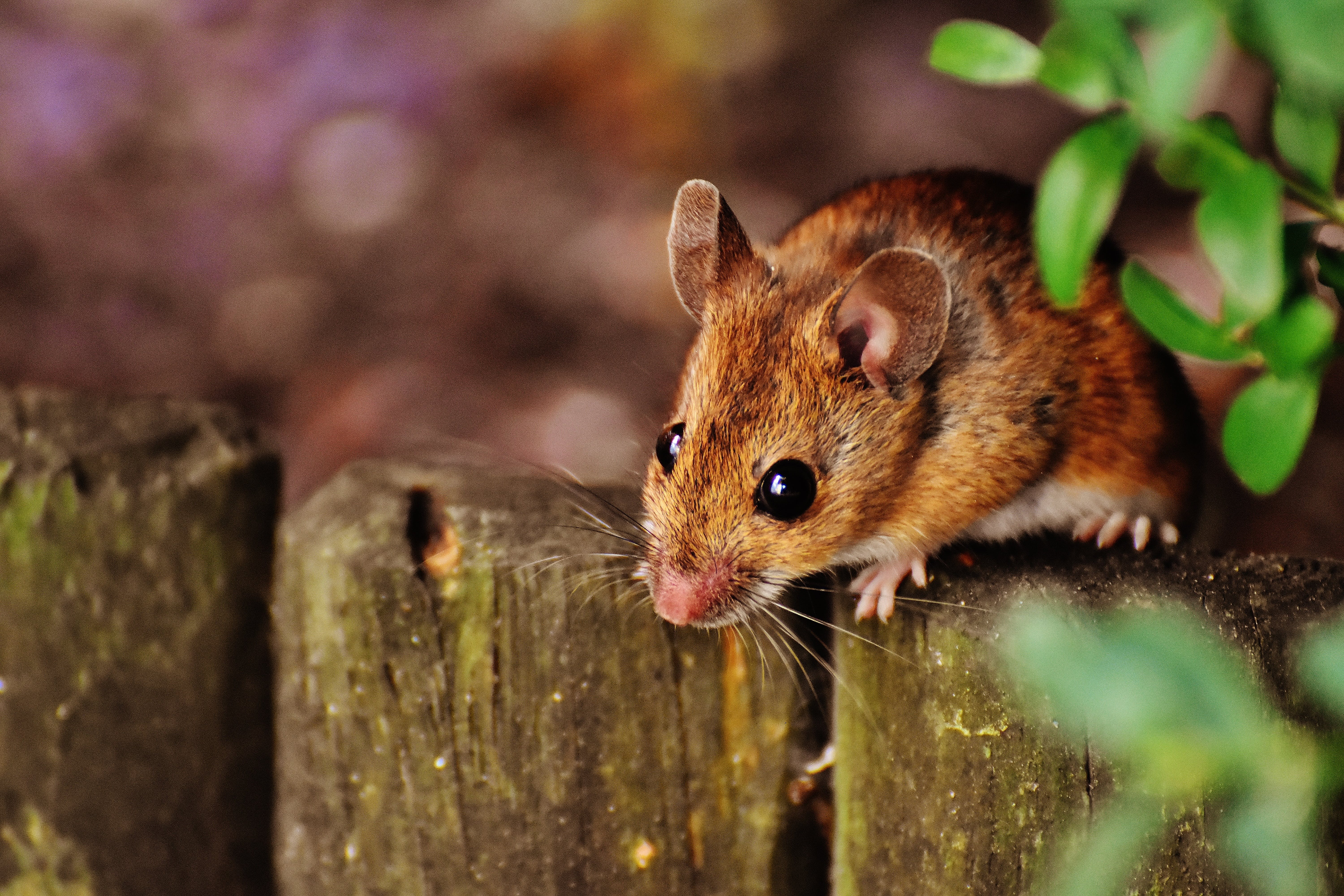 Brown Rodent on Gray Fence Beside Green Leaved Plants Under Sunny Sky