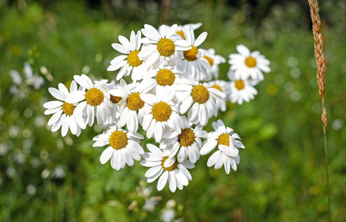 Selective Focus Photography of White Daisy Flowers in Bloom