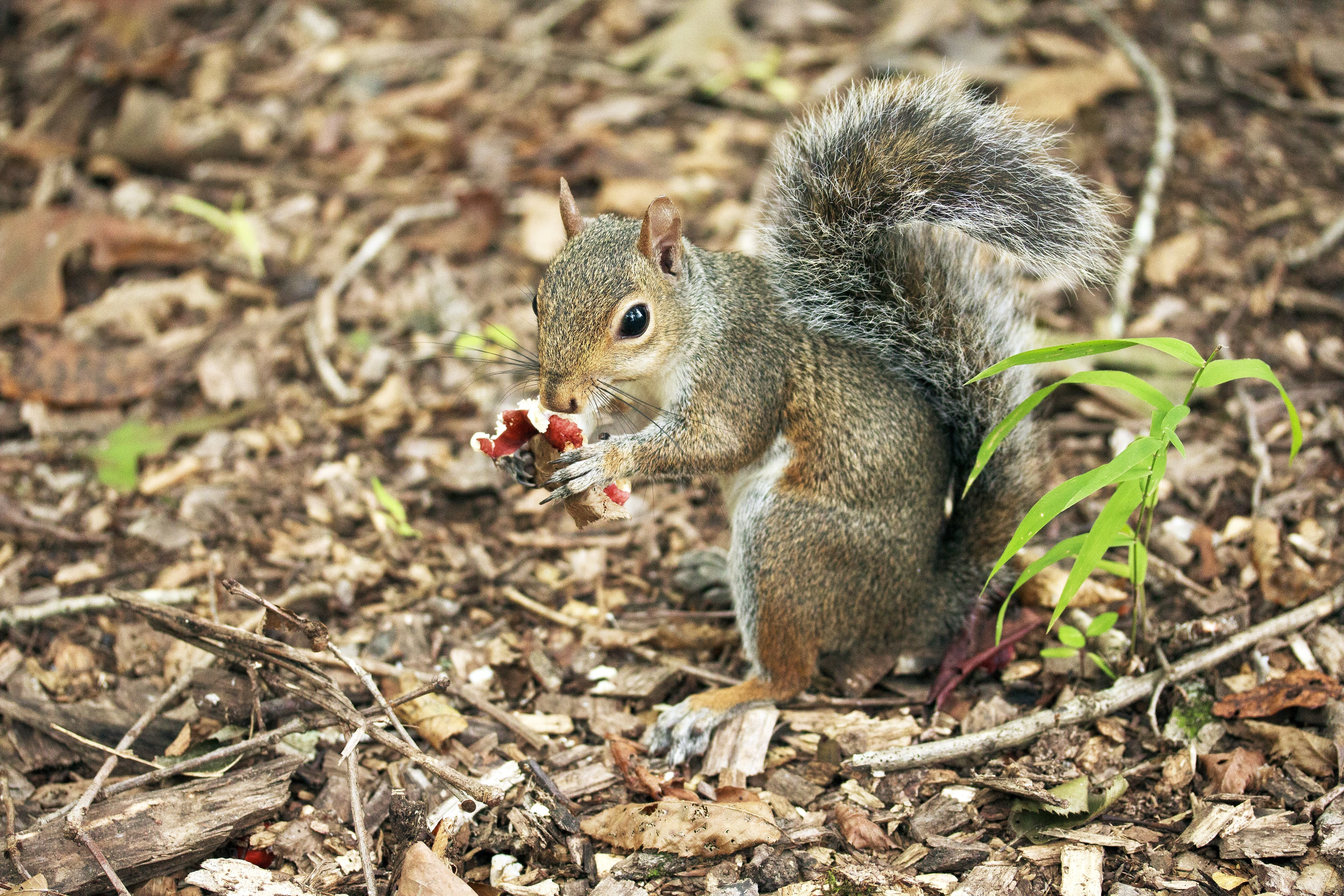 Gray Squirrel Eating Red Fruit