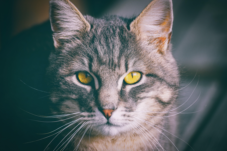 Ảnh lưu trữ miễn phí về con mèo, con vật, dễ thương, mèo