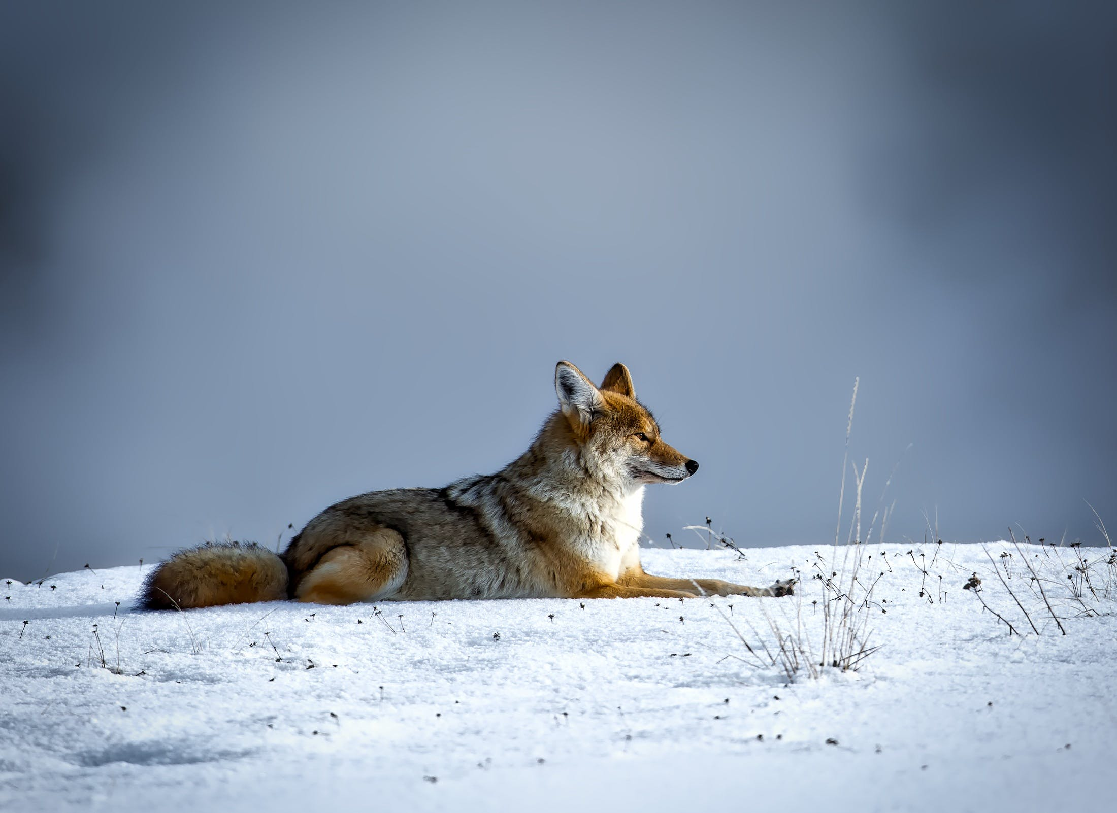 Snow Fox Laying on Snowfield