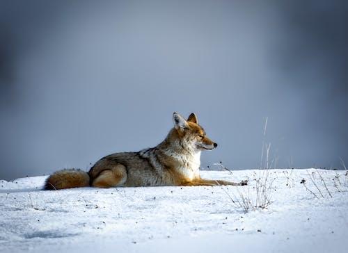 Fotos de stock gratuitas de animal, canino, coyote, escarchado