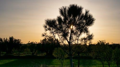 Free stock photo of grass, nature, sunset, tree