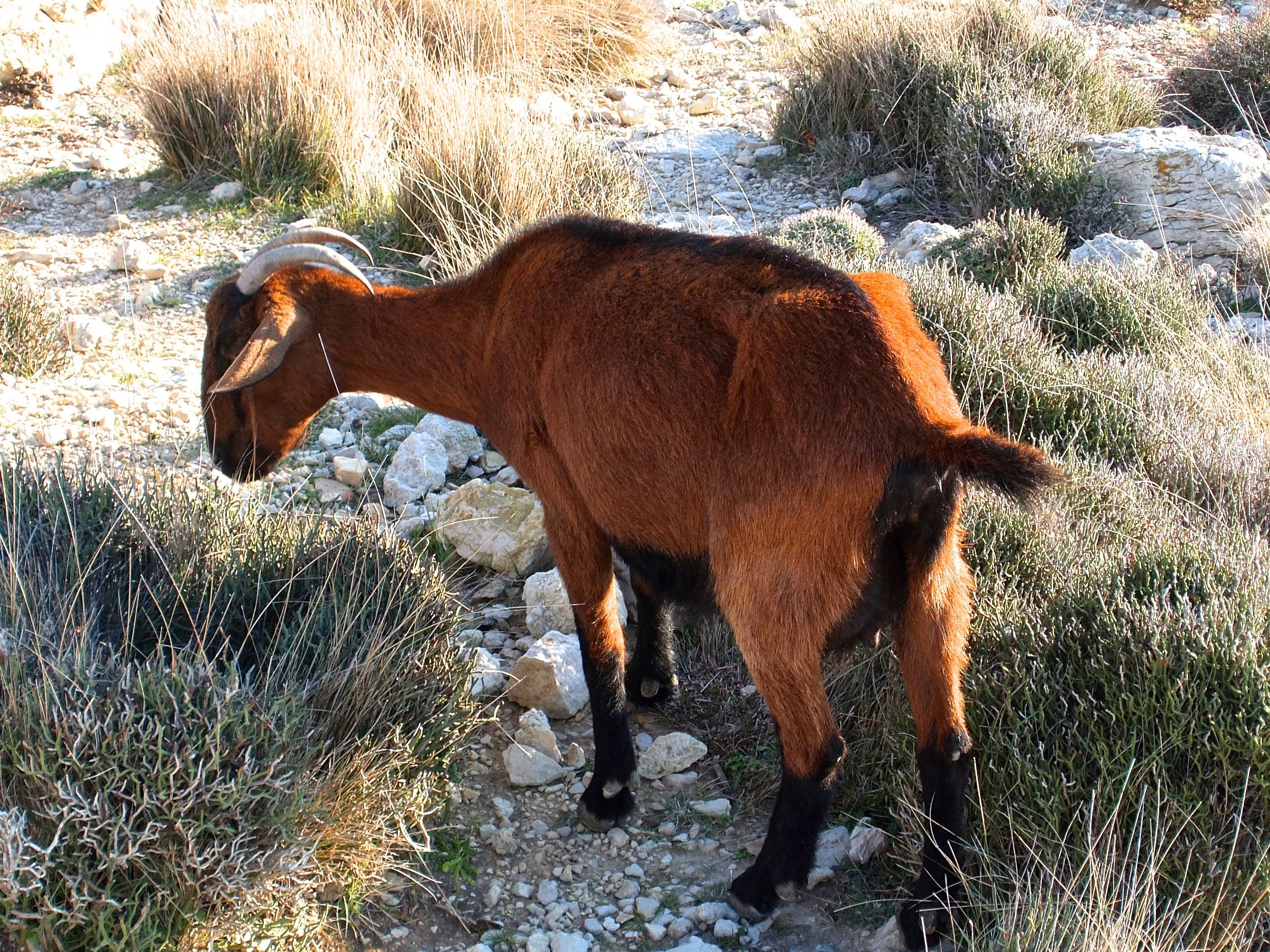 Brown Goat With Horn