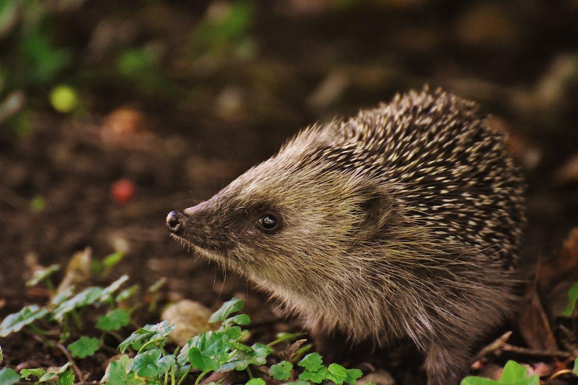 Brown and Black Hedgehog