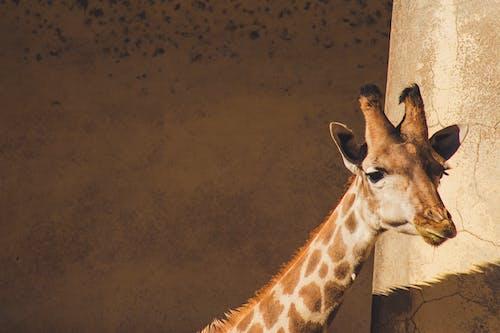 Fotos de stock gratuitas de animal, fauna, fotografía de animales, jirafa