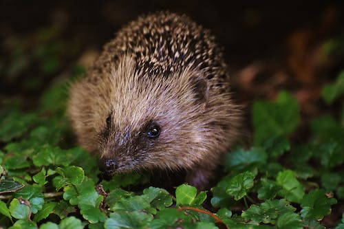 Brown and Black Hedgehog on Grass
