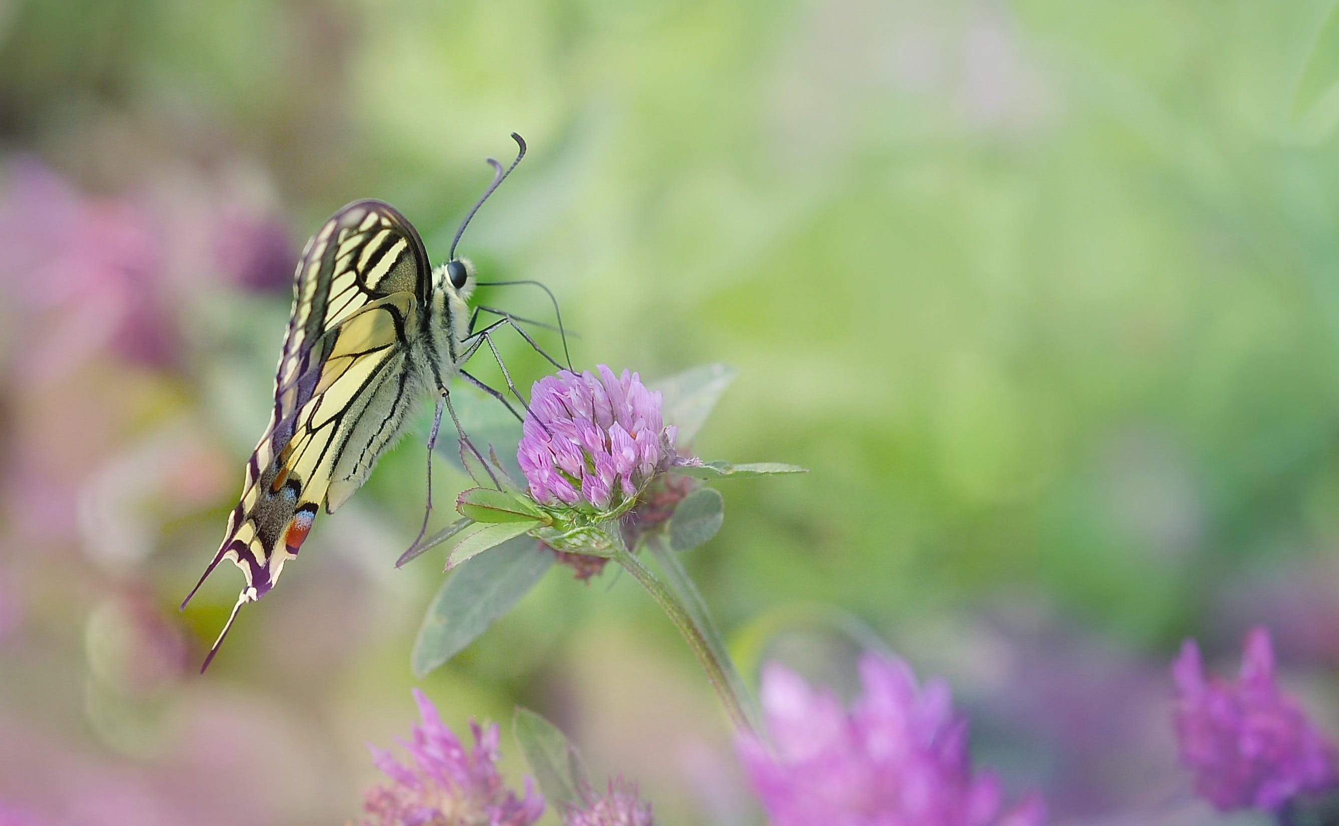 Free stock photo of butterfly, close, dovetail, edelfalter