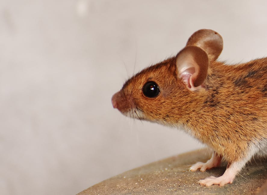 rodent control staten island - pic of mouse