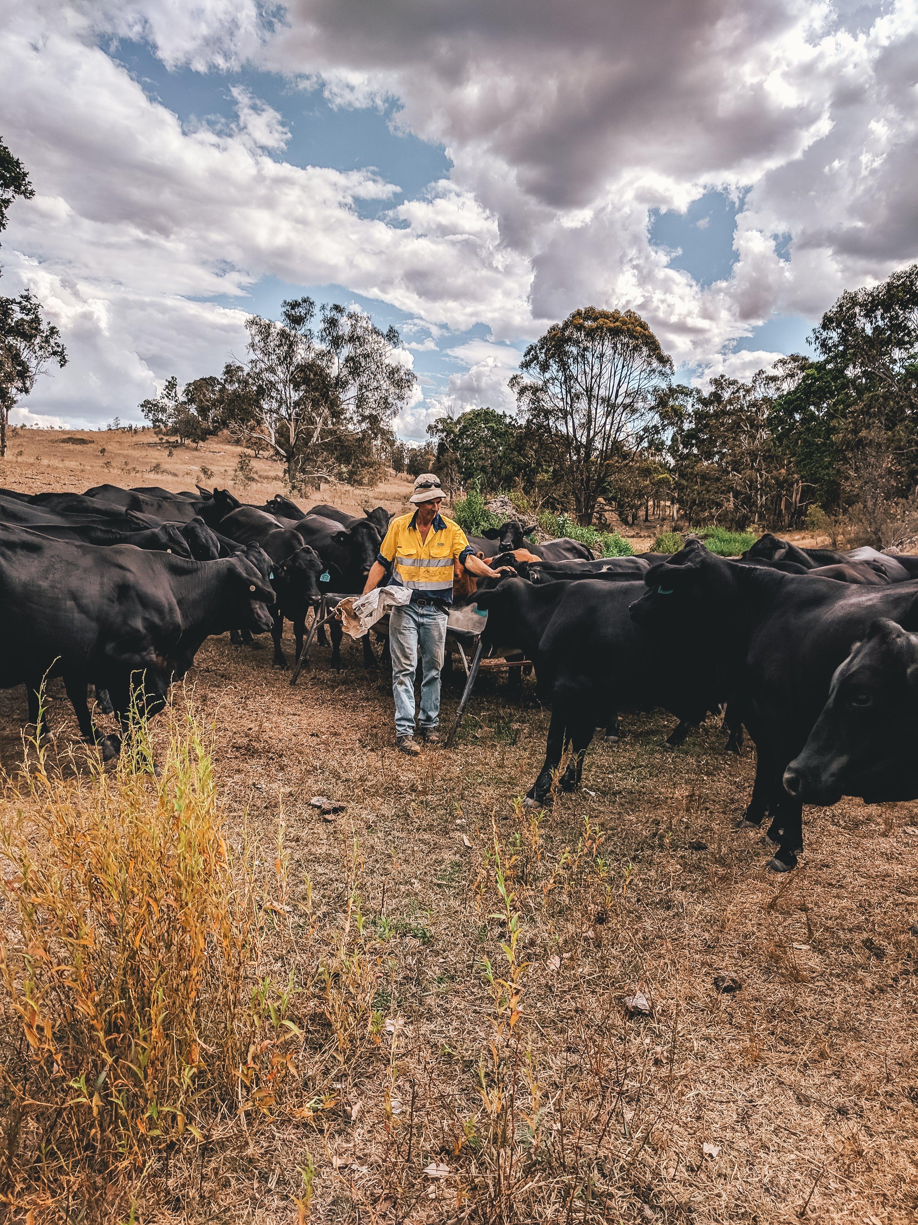 Foto profissional grátis de agricultura, Austrália, chácara, gado