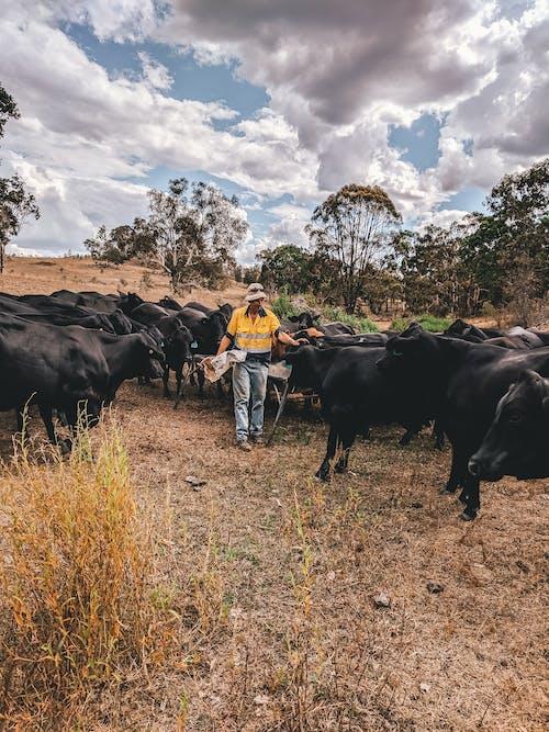 Gratis stockfoto met Australië, boerderij, boerenbedrijf, koeien