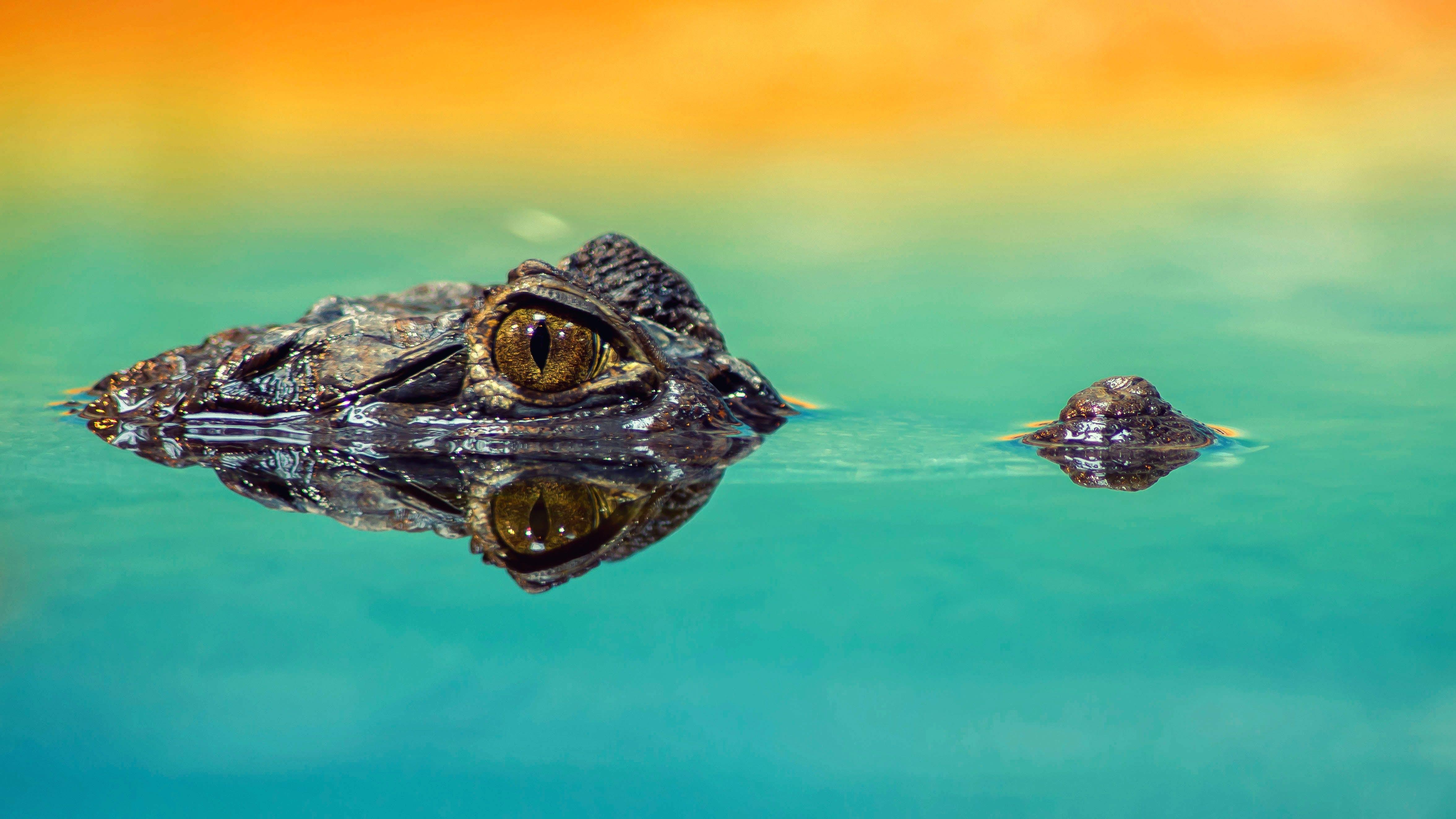 Kostenloses Stock Foto zu alligatoren, amphibie, auge, baden
