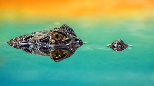Бесплатное стоковое фото с аллигаторы, бирюзовый, весы, вода